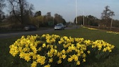 Daffodils & Traffic 2